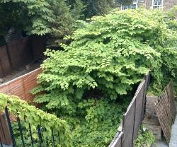 Japanese knotweed encroachment
