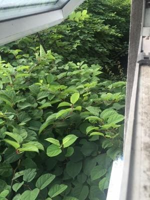 Knotweed encroachment causes loss of value in property