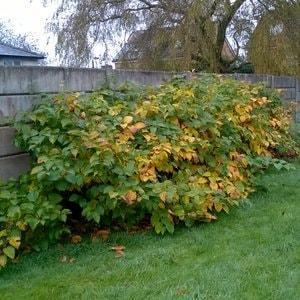 Japanese Knotweed in Autumn - Autumnal colours appear across the plant
