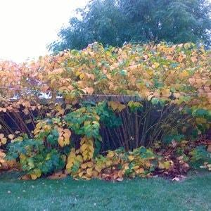 Japanese Knotweed in Autumn - Moving into September and October, the yellowing leaves start to wilt