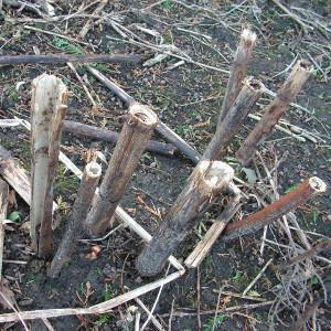 Cut Japanese knotweed stems in the winter. They resemble bamboo canes.