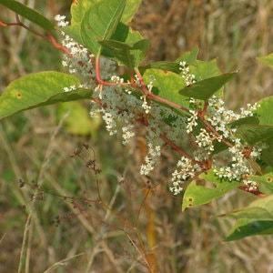 Knotweed flowers are about 0.5cm in width