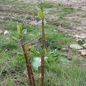 Japanese Knotweed in Spring - canes are shooting up and leaves are turning green