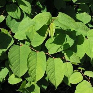 Japanese Knotweed Leaves - they're a luscious green and grow up to 200mm long