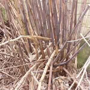 In winter, Japanese knotweed stems become brittle and sometimes collapse