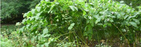 Japanese knotweed Grantham