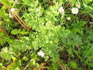 Common ragwort young rosette