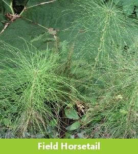 Field Horsetail or Mare's Tail