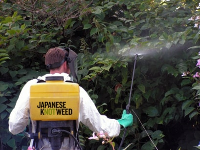 Japanese knotweed solutions manchester