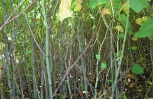 Japanese knotweed damage to garden