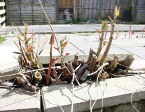 Japanese knotweed damage to paving