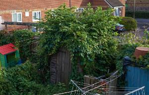 Japanese knotweed damage to shed