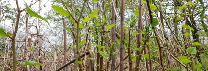 BBC News - knotweed cannot be eradicated
