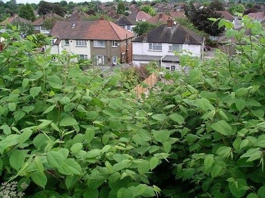 Japanese knotweed Birmingham