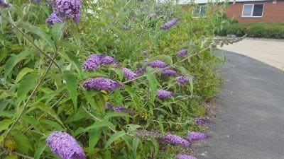 Buddleia, butterfly bush