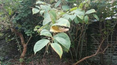 Japanese knotweed in Autumn