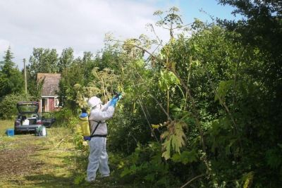 Giant hogweed grows up to 4 metres high