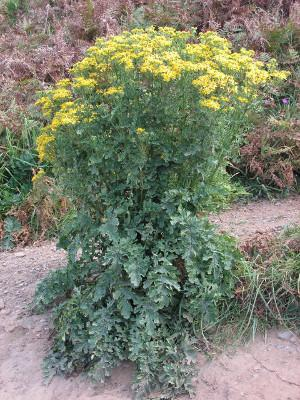 Common Ragwort in seed
