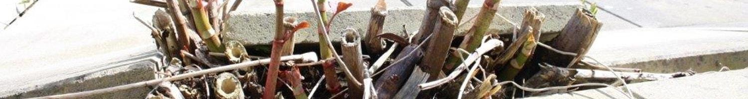 Damage caused by Japanese Knotweed