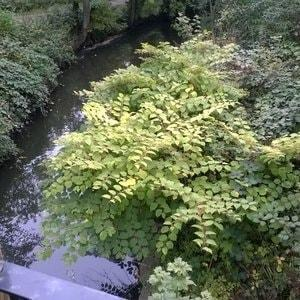 Japanese Knotweed in Autumn - Leaves start to yellow