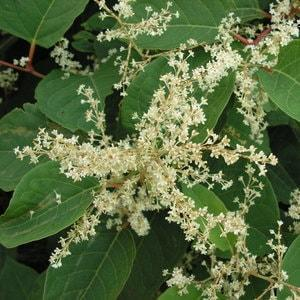 Japanese knotweed flowers are creamy white in colour