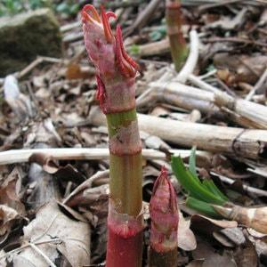 Japanese Knotweed in Spring - typical asparagus-like red tips are shooting through the soil