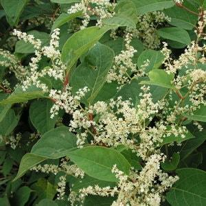 Japanese Knotweed in Summer - Small clusters of white/cream flowers appear