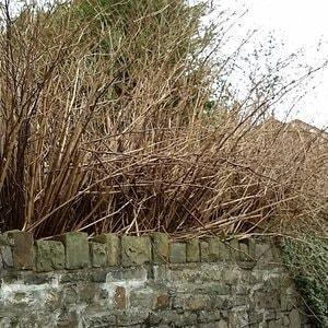 Japanese Knotweed in Winter - leaves turn brown and drop off