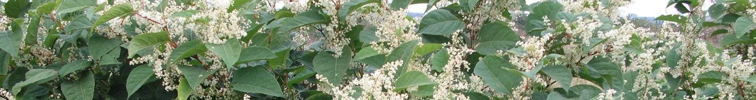 Useful Information on Japanese knotweed